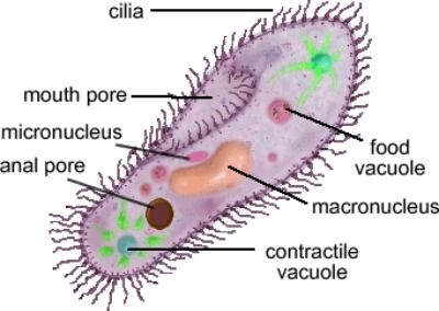 protists discovering the kingdon protista in microscopy : protist diagram - findchart.co
