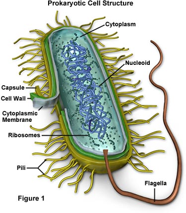 Prokaryotes Vs Eukaryotes Cell Structure And Differences Under The