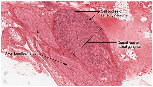 Dorsal Root Ganglion by OpenStax [CC BY 4.0 (https://creativecommons.org/licenses/by/4.0)]