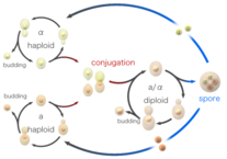 Budding Yeast Life Cycle by CC BY-SA 3.0, https://commons.wikimedia.org/w/index.php?curid=50357