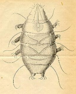 Echiniscus sp. Date: 1861 by Schultze [Public domain], via Wikimedia Commons