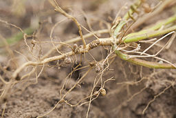 Legumes inoculated with bacteria of genus Rhizobium to induce nitrogen-fixing nodules in roots of legumes: Terraprima [CC BY-SA 3.0 (https://creativecommons.org/licenses/by-sa/3.0)],Wikimedia Commons