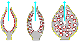 Structure types:Left: asconoid;Middle: syconoid;Right: leuconoid by Philcha, CC BY-SA 3.0 <http://creativecommons.org/licenses/by-sa/3.0/>, via Wikimedia Commons
