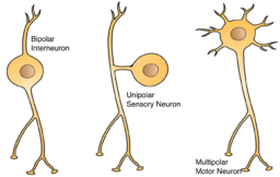 Three Basic Types of Neuronal Arrangements-Artwork by Holly Fischer [CC BY 3.0 (https://creativecommons.org/licenses/by/3.0)]