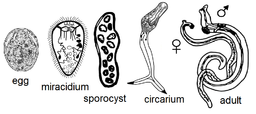 Lifecycle stages of a typical trematode, Schistosoma japonicum - by JRockley[Public domain], via Wikimedia Commons