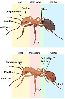 Comparison of worker ant anatomy of the families Formicinae (above) and Myrmicinae (below) by ASU Ask A Biologist, http://askabiologist.asu.ed /CC BY-SA(https://creativecommons.org/licenses/by-sa/3.0)