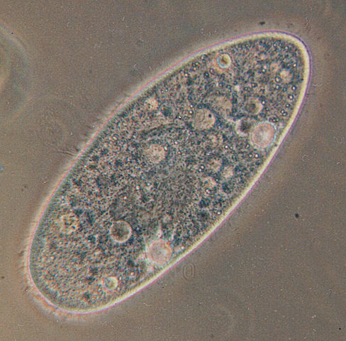 Paramecium Aurelia - Originally uploaded to the English Wikipedia, where it was made by Barfooz., CC BY-SA 3.0, https://commons.wikimedia.org/w/index.php?curid=172055