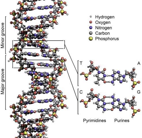 DNA structure by Zephyris (Own work) [CC BY-SA 3.0 (https://creativecommons.org/licenses/by-sa/3.0) or GFDL (http://www.gnu.org/copyleft/fdl.html)], via Wikimedia Commons