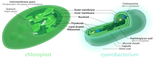 Comparison between a chloroplast and a cyanobacterium by Kelvinsong / CC BY-SA (https://creativecommons.org/licenses/by-sa/3.0)