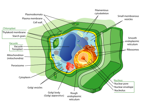 Plant cell structure by LadyofHats -  Public Domain, https://commons.wikimedia.org/w/index.php?curid=844682