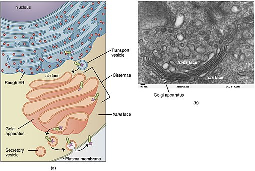 Golgi Apparatus by OpenStax [CC BY 4.0 (http://creativecommons.org/licenses/by/4.0)], via Wikimedia Commons