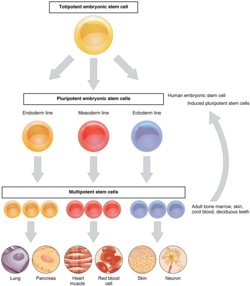 Stem cell classification diagram by OpenStax College [CC BY 3.0 (https://creativecommons.org/licenses/by/3.0)]