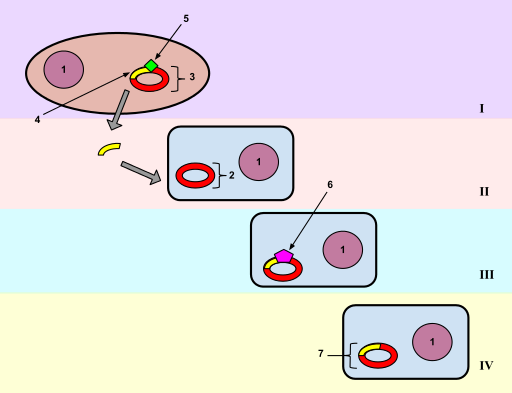 Process of bacterial cell 2 taking new genetic material from bacteria cell 1 is called transformation by Sprovenzano15, CC BY-SA 3.0 <https://creativecommons.org/licenses/by-sa/3.0>Wikimedia Commons