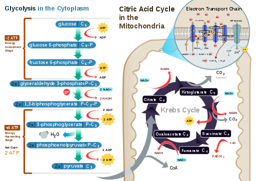 A diagram of cellular respiration including glycolysis, Krebs cycle (AKA citric acid cycle), and the electron transport chain by RegisFrey / CC BY-SA (https://creativecommons.org/licenses/by-sa/3.0)