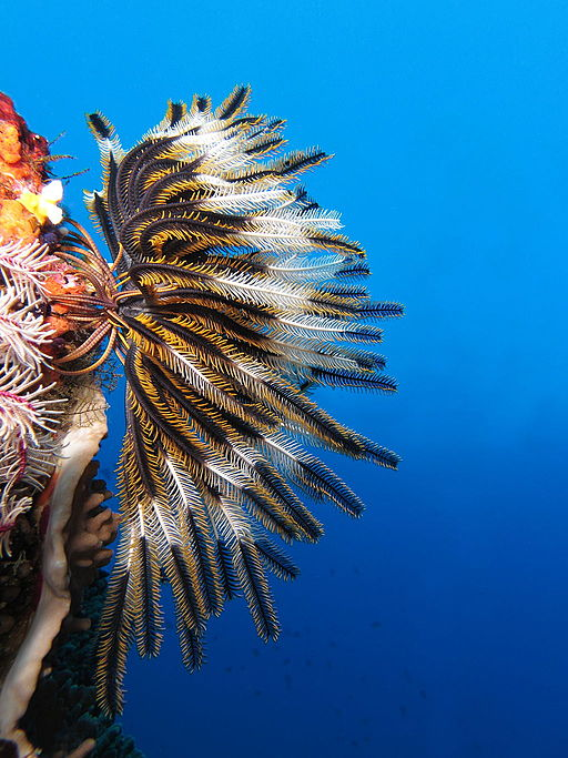 Feather Star by Alexander Vasenin, CC BY-SA 3.0 <https://creativecommons.org/licenses/by-sa/3.0>, via Wikimedia Commons