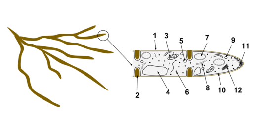 Hyphae by AHiggins12 [CC BY-SA 3.0 (https://creativecommons.org/licenses/by-sa/3.0)], from Wikimedia Commons
