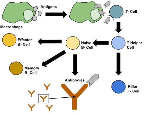 Immune response by Sstern19, CC BY-SA 4.0 <https://creativecommons.org/licenses/by-sa/4.0>, via Wikimedia Commons