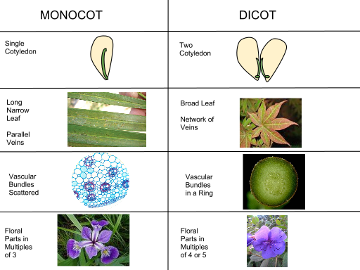 Differences between monocotyledonous flowers or dicotyledonous flowersby Flowerpower207, CC BY-SA 3.0 <https://creativecommons.org/licenses/by-sa/3.0>, via Wikimedia Commons