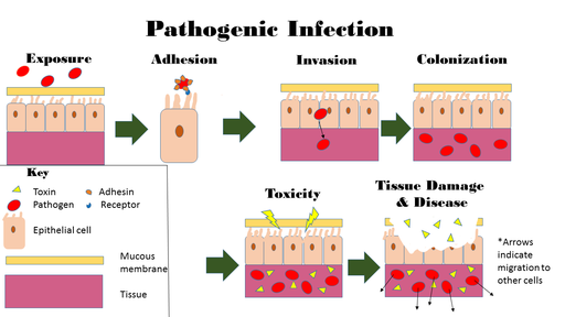 Infection occurs over many steps first starting with the exposure to the pathogen by Uhelskie / CC BY-SA (https://creativecommons.org/licenses/by-sa/4.0)