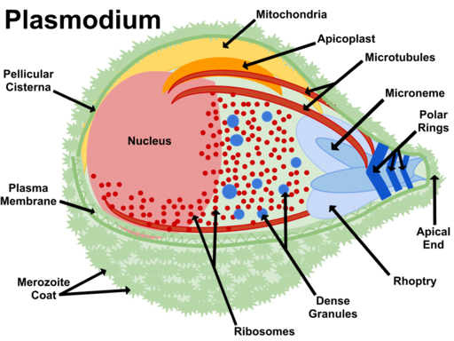 As a protist, the plasmodium is a eukaryote of the phylum Apicomplexa by Jfbranch14 / CC BY-SA (https://creativecommons.org/licenses/by-sa/3.0)