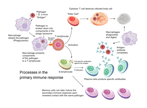 Processes involved in the primary immune response by Sciencia58, Domdomegg, [1], Fæ, Petr94, Manu5, CC BY-SA 4.0 <https://creativecommons.org/licenses/by-sa/4.0>, via Wikimedia Commons