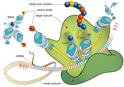 Translation: Illustrates how a robosome a mRNA and lots of tRNA molecules work together to produce peptides or proteins by LadyofHats / Public domain