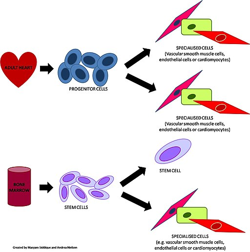 STEM CELLS AND PROGENITOR CELLS by Acn20, CC BY-SA 3.0 <https://creativecommons.org/licenses/by-sa/3.0>, via Wikimedia Commons