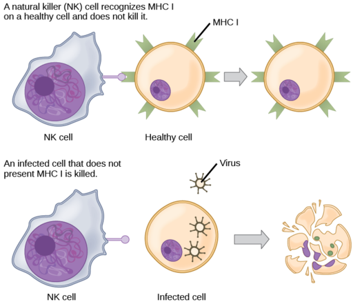 Natural Killer Cell recognizing MHC1 on cell and not killing it by CNX OpenStax, CC BY 4.0 <https://creativecommons.org/licenses/by/4.0>, via Wikimedia Commons