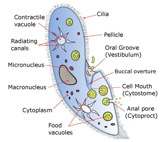 A labeled diagram of Paramecium By Deuterostome (Own work) [CC BY-SA 4.0 (https://creativecommons.org/licenses/by-sa/4.0)], via Wikimedia Commons