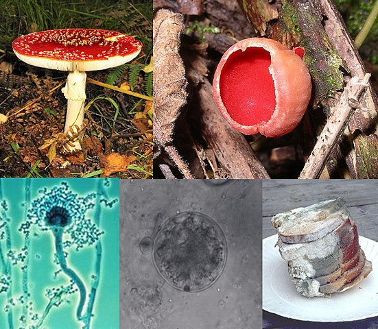 Fungi Collage by BorgQueen [CC BY-SA 2.5 (https://creativecommons.org/licenses/by-sa/2.5)], via Wikimedia Commons