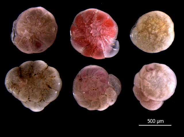 Foraminifera: Ammonia beccarii, a benthic foram from the North Sea. by © Hans Hillewaert, CC BY-SA 4.0, https://commons.wikimedia.org/w/index.php?curid=19176584