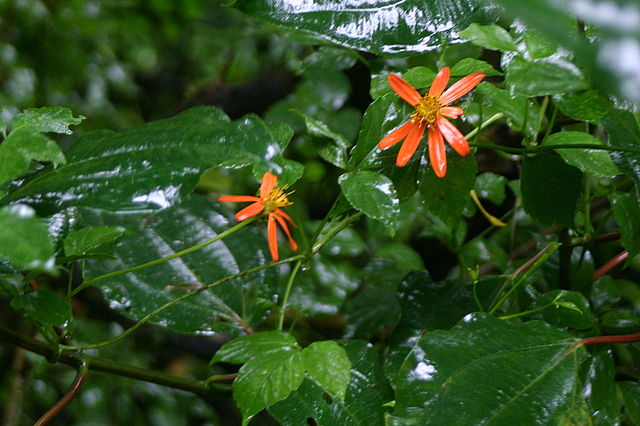 Hidalgoa ternata — epiphytic vine with vermillion flowers, in the Asteraceae family by CC BY 2.5, https://commons.wikimedia.org/w/index.php?curid=692395