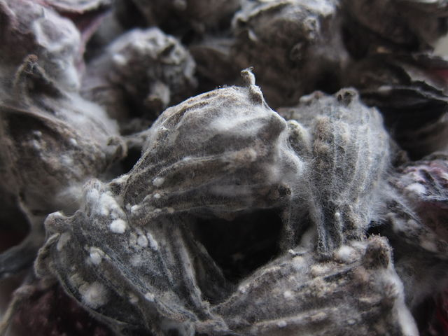 Mold on dried Hibiscus by Geographer - Own work, CC BY-SA 3.0, https://en.wikipedia.org/w/index.php?curid=41423644