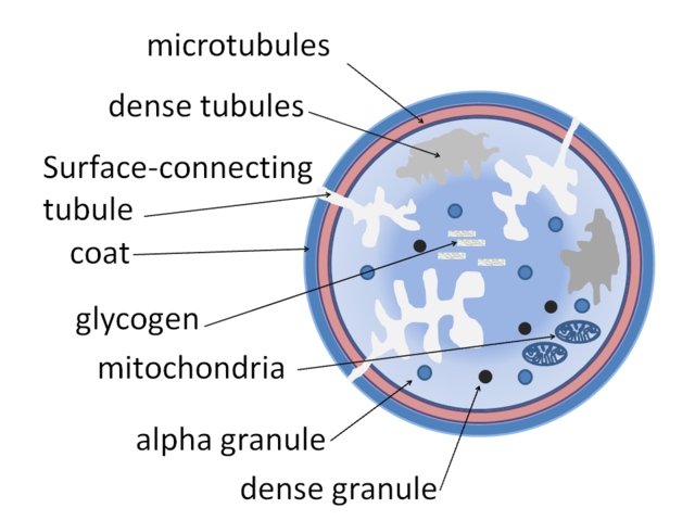 Diagram of the structure of a platelet showing the granules by Dr Graham Beards - Own work, CC BY-SA 3.0, https://commons.wikimedia.org/w/index.php?curid=21906052