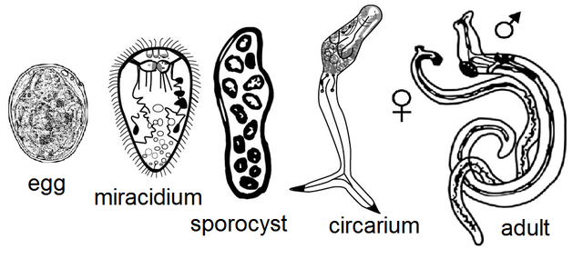 Life cycle stages of digenean human parasite, Schistosoma japonicum by Jack,derived from File:Schistosomiasis Life Cycle.png,Public Domain, https://commons.wikimedia.org/w/index.php?curid=12034767