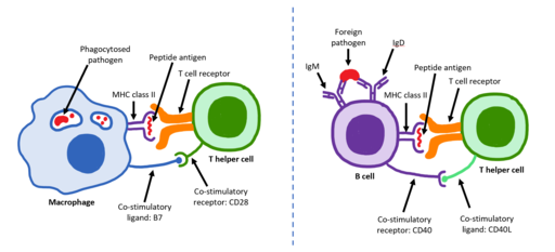 A visual depicting how T helper cells and B cells are activated by Immcarle105, CC BY-SA 4.0 <https://creativecommons.org/licenses/by-sa/4.0>, via Wikimedia Commons