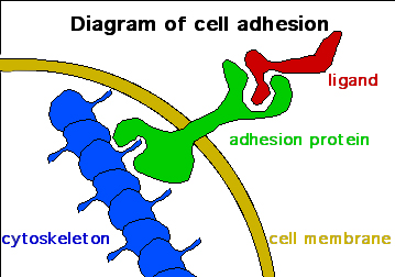 Cell Adhesion Diagram by JWSchmidt at the English language Wikipedia, CC BY-SA 3.0 <http://creativecommons.org/licenses/by-sa/3.0/>, via Wikimedia Commons