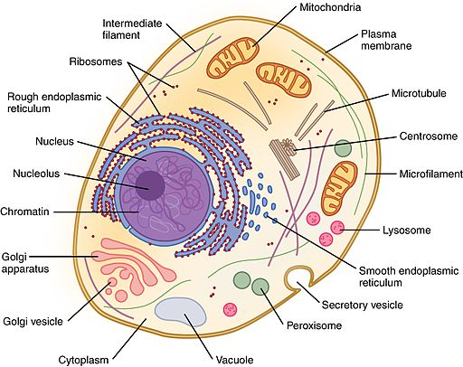 Cytoplasmic organelles by OpenStax, CC BY 4.0 <https://creativecommons.org/licenses/by/4.0>, via Wikimedia Commons