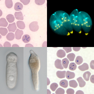 By US CDC - Composite image of images of Apicomplexans already available on Wikimedia Commons, CC BY 3.0, https://commons.wikimedia.org/w/index.php?curid=76178148