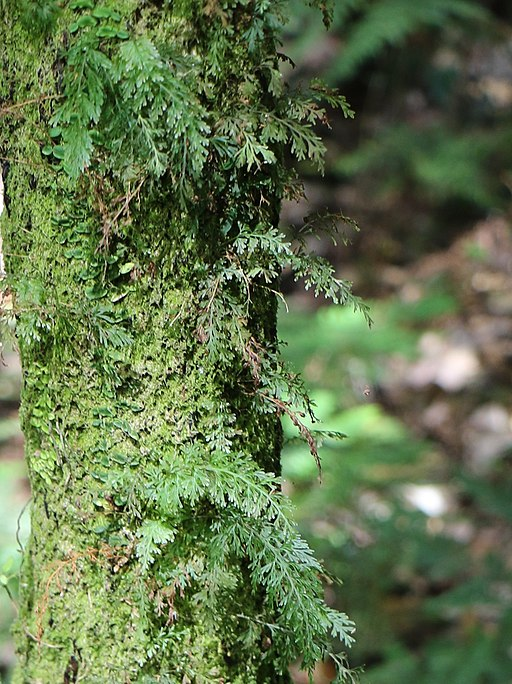 Hymenophyllaceae by Poyt448, Peter Woodard, CC BY-SA 4.0 <https://creativecommons.org/licenses/by-sa/4.0>, via Wikimedia Commons
