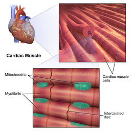 Cardiac muscle cells by BruceBlaus [CC BY-SA 4.0 (https://creativecommons.org/licenses/by-sa/4.0)]
