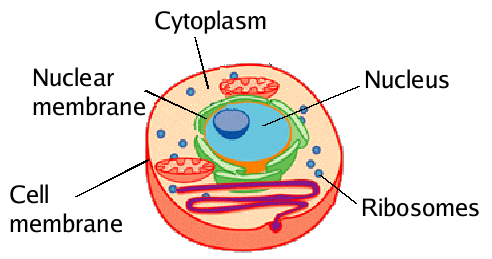 Ribosomes Definition Structure Size Location And Function