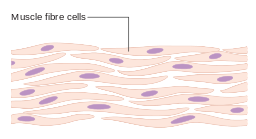 Diagram of muscle cells by Cancer Research UK, CC BY-SA 4.0 <https://creativecommons.org/licenses/by-sa/4.0>, via Wikimedia Commons