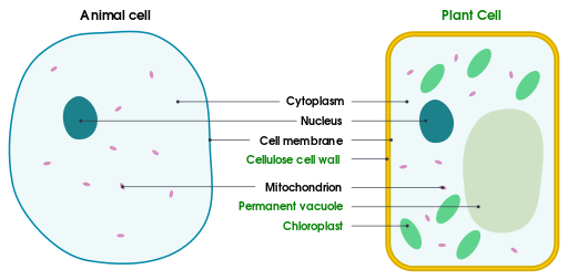 Differences between simple animal and plant cells by domdomegg, CC BY 4.0 <https://creativecommons.org/licenses/by/4.0>, via Wikimedia Commons