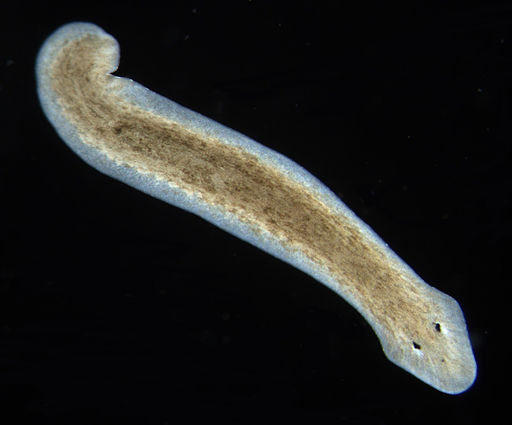 Planarian of Class Turbellaria by Eduard Solà / CC BY-SA (https://creativecommons.org/licenses/by-sa/3.0)