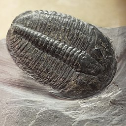 Subphylum: Trilobitomorpha by Daiju Azuma [CC BY-SA 4.0 (https://creativecommons.org/licenses/by-sa/4.0)], from Wikimedia Commons
