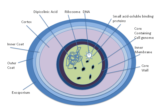 Endospore Diagram By Alayna5231 (Own work) [CC BY-SA 4.0 (http://creativecommons.org/licenses/by-sa/4.0)], via Wikimedia Commons
