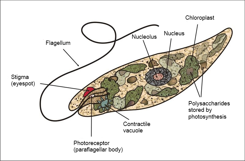 Euglena diagram by Claudio Miklos - Simple English Wikipedia, CC0, https://commons.wikimedia.org/w/index.php?curid=17172675