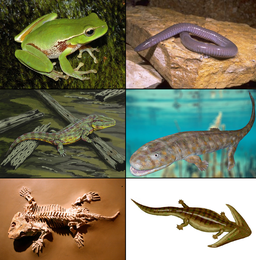 Examples of Amphibia by Prehistoricplanes / CC BY-SA (https://creativecommons.org/licenses/by-sa/4.0)