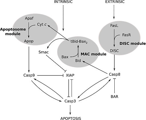 Extrinsic and intrinsic pathways to caspase-3 activation by Harrington HA, Ho KL, Ghosh S, Tung KC [CC BY 2.5 (https://creativecommons.org/licenses/by/2.5)]